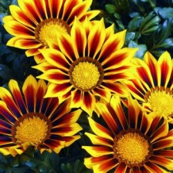GAZANIA BIG KISS YELLOW FLAMES GRAINES