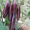 AUBERGINE LITTLE FINGER GRAINES