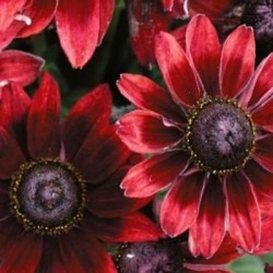 RUDBECKIA CHERRY BRANDY GRAINES